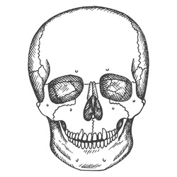 Human skull. Vector sketch isolated illustration. Medical hand drawn pictures.