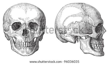 human skull   vintage