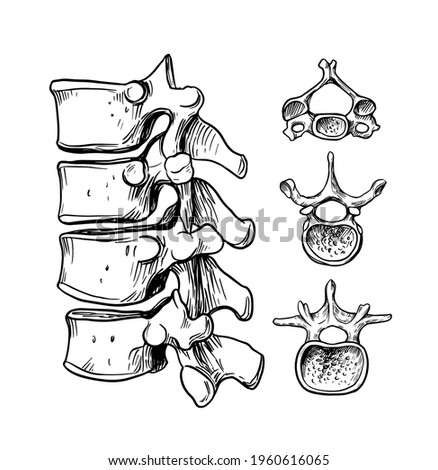 Human spine. The structure of the cervical, thoracic, lumbar vertebra. Vector outline illustration Stock photo ©