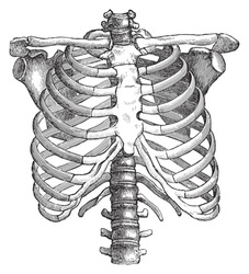 Human thorax / vintage illustrations from Die Frau als Hausarztin 1911