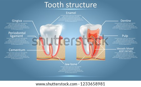 Human tooth structure vector diagram. Cross section scheme representing tooth layers enamel, dentine, pulp with blood vessels and nerves, cementum and structures around it. Dental anatomy concept.