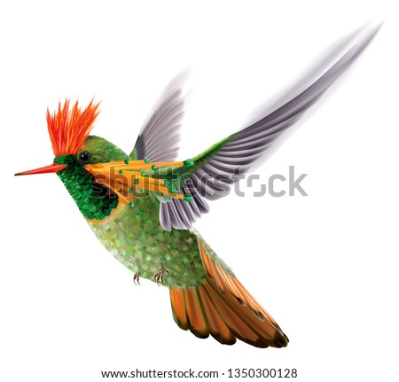 Hummingbird tufted coquette Lophornis ornatus in flight on a white background. Vector curves and mesh illustration