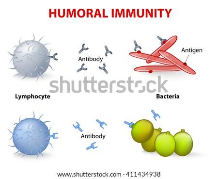 humoral immunity lymphocyte