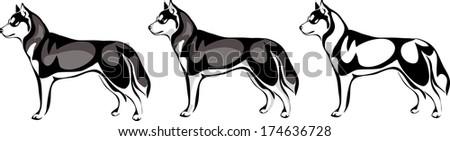 husky dog stands