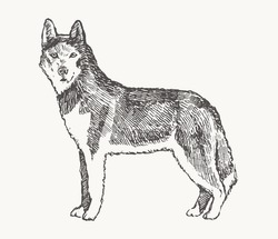 Husky. Hand drawn vector illustration of a dog. Realistic sketch