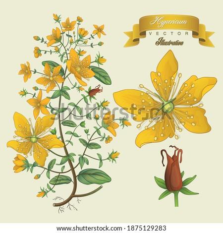 Hypericum vintage hand drawn medical vector illustrations. Pharmaceutical, botanical hypericum  plant hand drawn. Vector retro hypericum flower.  Foto d'archivio ©