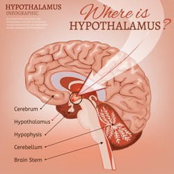 Hypothalamus infographic image. Detailed anatomy of the human brain cross section. Vector illustration in bright colours on a light pink background. Where is hypothalamus concept.