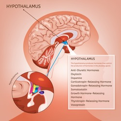Hypothalamus infographic image. Detailed anatomy of the human brain cross section. Vector illustration in bright colours on a light pink background.