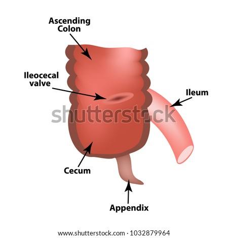 Ileocecal angle. Ileocecal valve. Bauginiev s damper. The ileum, the Cecum, the Apendix. Colon. Infographics. Vector illustration on isolated background. Stock photo ©