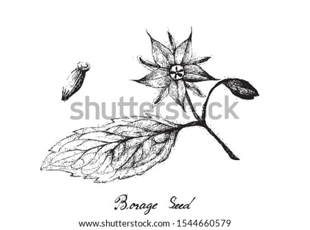 Illustration Hand Drawn Sketch of Borage Seeds and Blossoms on A Branch. The Highest Amounts of Y-Linolenic Acid or GLA of Seed Oils. Zdjęcia stock ©