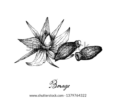 Illustration Hand Drawn Sketch of Borage Seeds and Flowers. The Highest Amounts of Y-Linolenic Acid or GLA of Seed Oils. Zdjęcia stock ©
