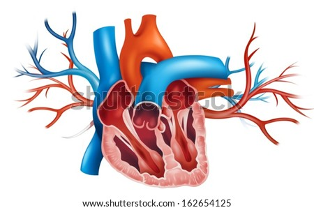 Human heart vector graphic download free vector art stock illustration of a human heart on a white background ccuart Images