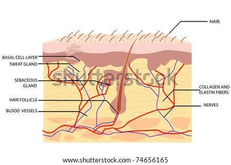 illustration of anatomy of skin with label on white background