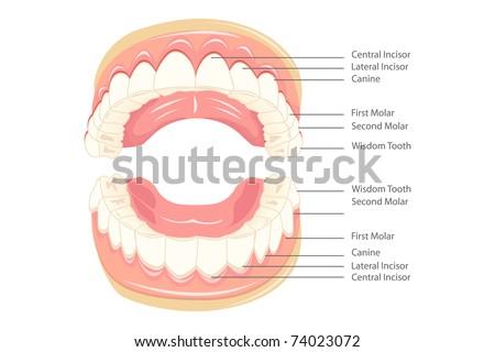 Teeth Diagram Labeled Cartoon House Wiring Diagram Symbols