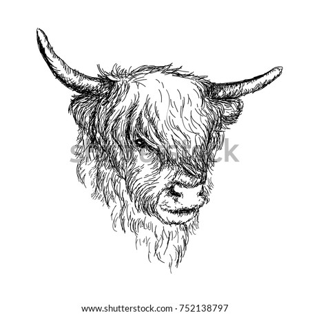 "Illustration of beautiful Scottish rural animal - Hairy Cow ""Hairy Coo"" from Highlands VECTOR"