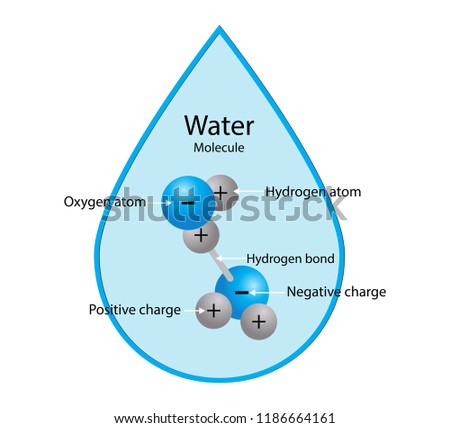 illustration of  biochemistry, Water molecule consists of two hydrogen atoms bonded to one Oxygen atom, One side of the molecule has a weak negative charge while the other side has a small positive