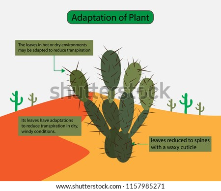 how are plants adapted to dry Some plants that are adapted to dry environments, such as cacti and pineapples, use the crassulacean acid metabolism (cam) pathway to minimize photorespiration this name comes from the family of plants, the crassulaceae, in which scientists first discovered the pathway.