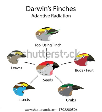illustration of biology and animal, adaptive radiation diagram, evolutionary biology, Darwin's finches