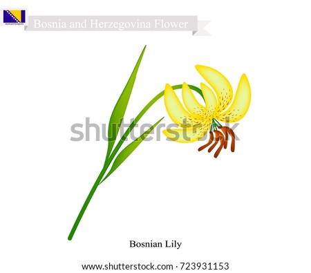illustration of  bosnian lily