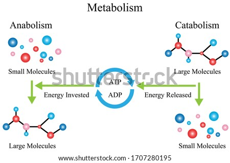 Illustration of chemical. The chemical reactions of metabolism are organized into metabolic pathways. Usually, catabolism releases energy, and anabolism consumes energy.