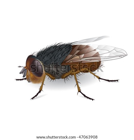 Illustration of everyones favorite insect the fly with transparent wings. Calliphora augur