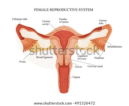 Royalty-free Female reproductive system image… #505229605 Stock ...