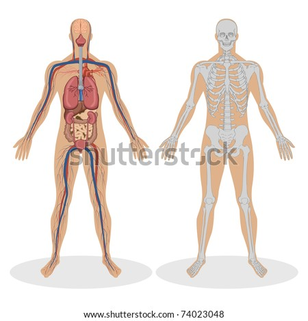 illustration of human anatomy of man on white background stock photo