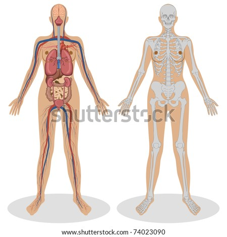 illustration of human anatomy of woman on white background