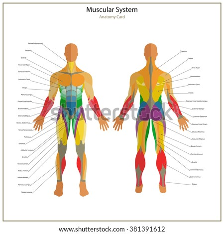 illustration of human muscles