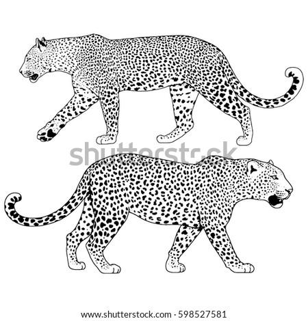 illustration of leopard
