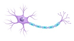 Illustration of neuron anatomy. Vector infographic (nerve cell axon and myelin sheath)