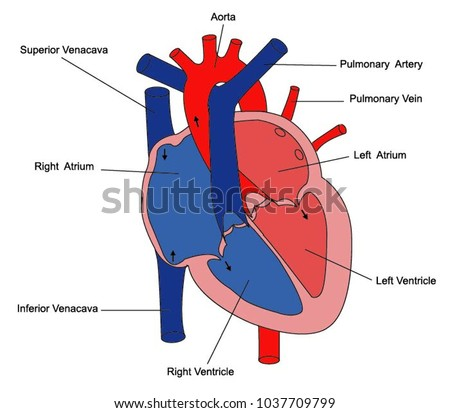 vector illustration of diagram of human heart anatomy | EZ Canvas