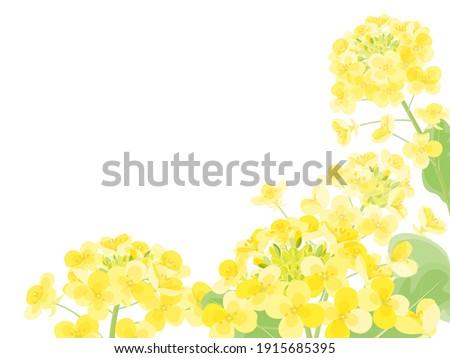 illustration of rape blossoms