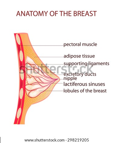 Anatomy of areola