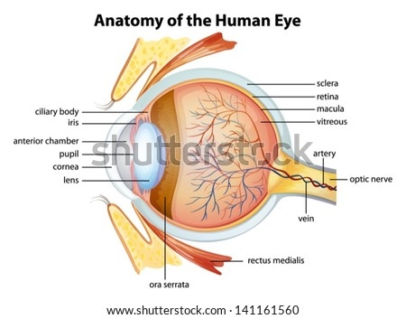 Anatomy of eye download free vector art stock graphics images illustration of the human eye anatomy ccuart Gallery