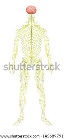 Human nervous system on display - photo#4