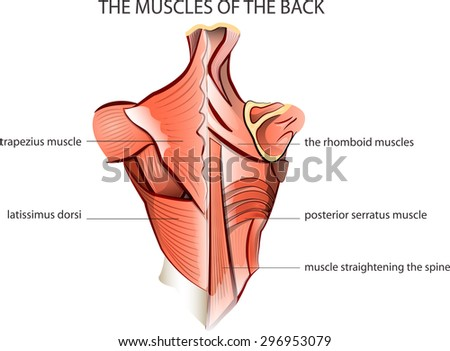 illustration of the muscles of