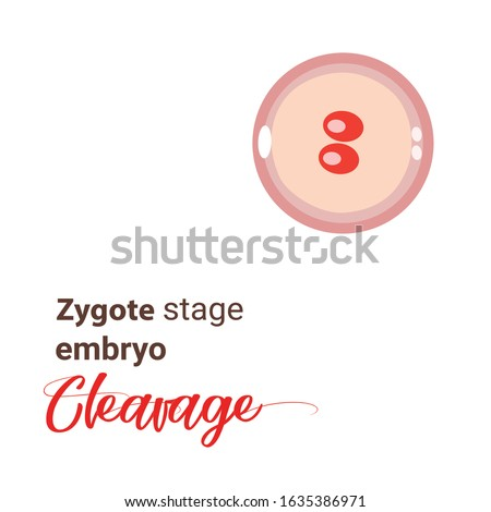illustration of zygote stage