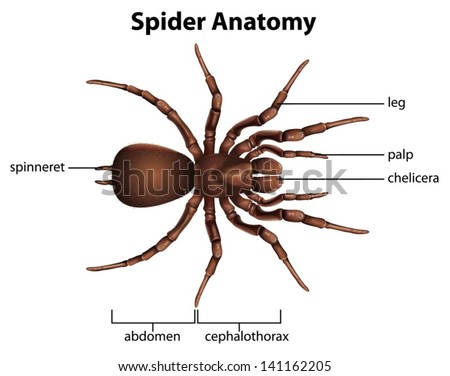 illustration showing the anatomy of a spider 141162205. Black Bedroom Furniture Sets. Home Design Ideas