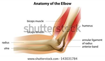 肘关节结构图