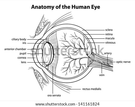 Anatomy of eye download free vector art stock graphics images illustration showing the human eye ccuart Images