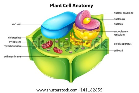 Illustration showing the plant cell anatomy