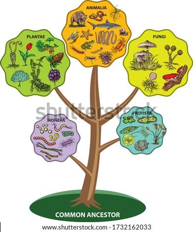 Illustration shows five Kingdom Classification System. Foto stock ©