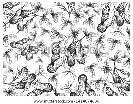 Illustration Wallpaper Background of Hand Drawn Sketch Fresh Peanuts or Groundnut with Groundnut Plants With Groundnuts And Roots, Good Source of Dietary Fiber, Vitamins and Minerals.