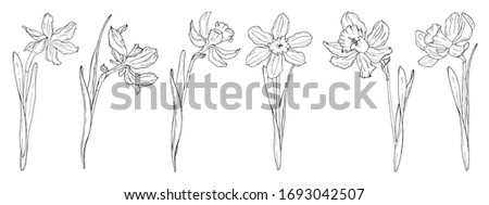 illustration with daffodils