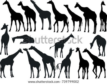 illustration with giraffes collection isolated on white background