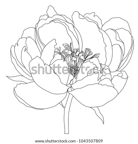 illustration with peony flower