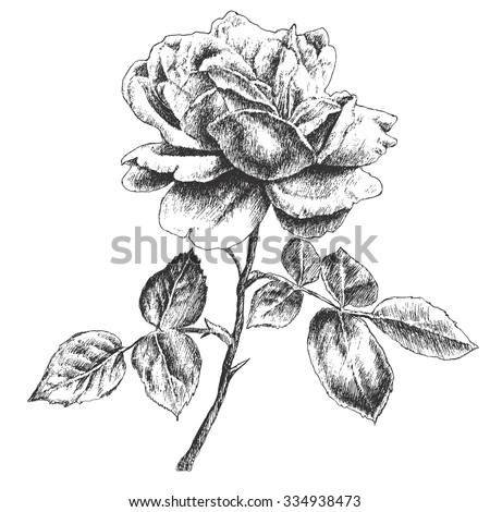 illustration with rose vector