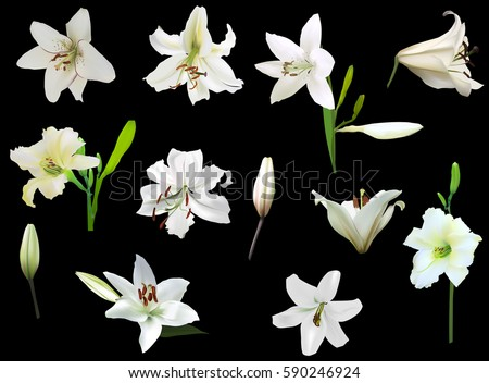 illustration with white lily flowers isolated on black background
