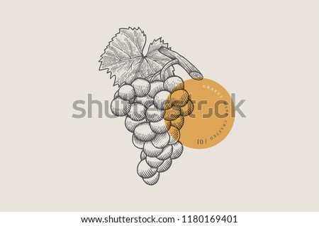 Image of bunch of grapes in an engraving style on light background. Vector illustration.